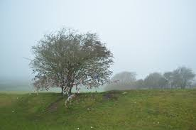 faery tree