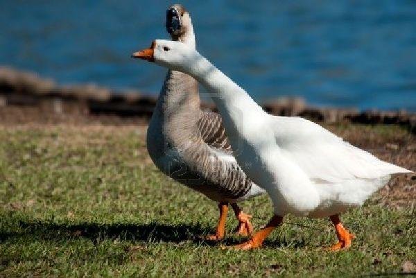 goose-and-gander