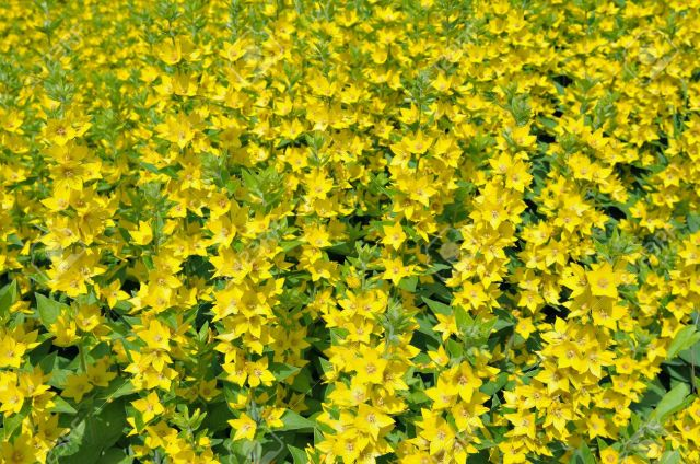 Field of Lysimachia punctata or Yellow Loosestrife flowers in sunny day