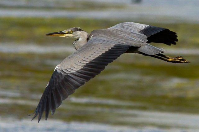 heron in ireland