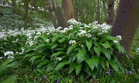 Wild garlic or ramsons