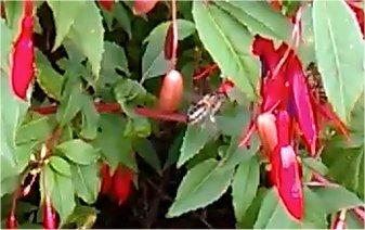 honeybee-on-fuschia-2